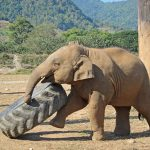 Young Asian elephant at the Elephant Nature Park playing with tire.