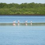 The roseate spoonbill seen while traveling in Nicaragua